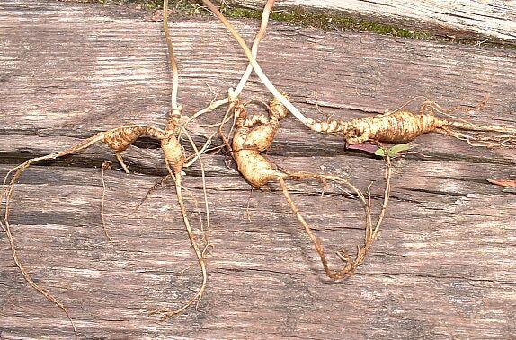 Harvesting Wild Roots | Gerowen's Corner